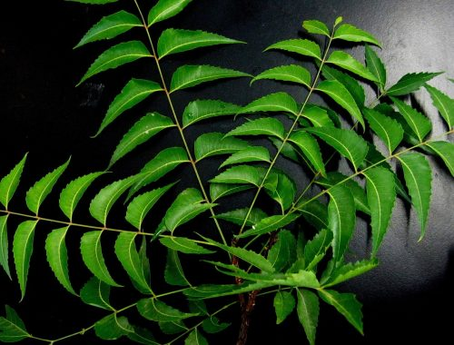 feuilles neem